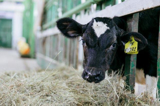 奶牛场的基础已经准备就绪:Lukyanovka正在建设畜牧综合体的第一阶段/ Orta农场负责人Levon Harutyunyan正在实施Belogorsk地区最大的项目。在卢克亚诺夫卡村,他正在为600头和598头母牛建造两个牛舍,并拥有一个挤奶和奶场以及一个产妇病房,可容纳98个地方。工程造价超过10亿卢布。完工后,牛奶产量将大大增加,并将创造30个新工作岗位。新的牲畜综合体每年将有可能接收9200吨牛奶。农场的所有者已经为该综合体购买了技术设备,花费了超过20万卢布。