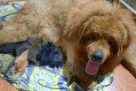 На обед по очереди: у семейства мастифов из Тынды родилось сразу десять щенков