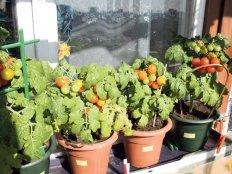 Как сохранить урожай на балконе