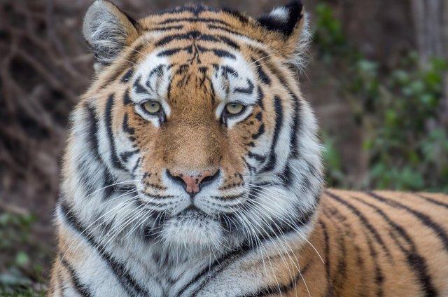 Трех амурских тигров выпустят в Хинганский заповедник 15 мая / В Хинганский заповедник Амурской области привезут амурских тигров. Двух самцов и самку, выращенных в Приморье в специальном питомнике, доставят в заповедник в середине мая. Все тигры будут снабжены ошейниками с системой GPS, позволяющими отслеживать их перемещение по территории региона.