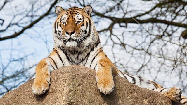 Приамурье — второй регион, который принимает редкий исчезающий вид тигров.
