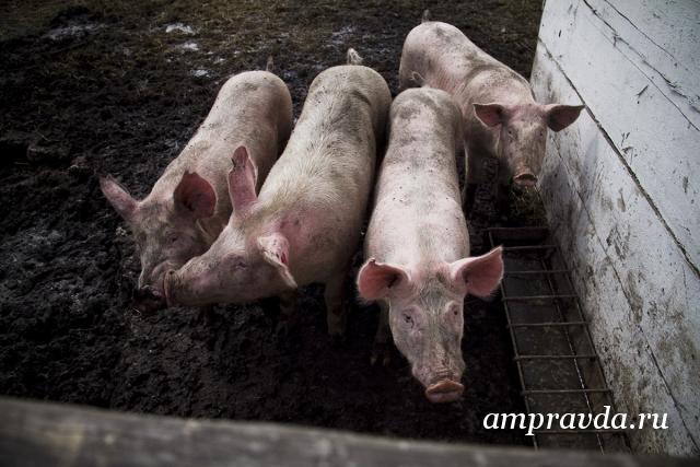 Свинофермы в белогорском районе амурской области