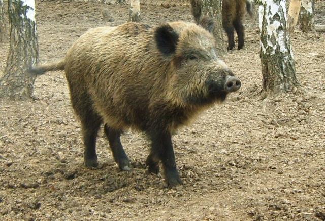 Работники МЧС обсудили африканскую чуму свиней вМеленковском районе