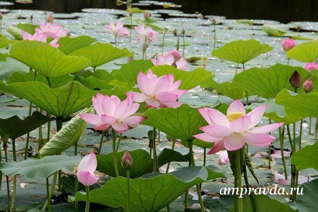 фото цветут лотосы