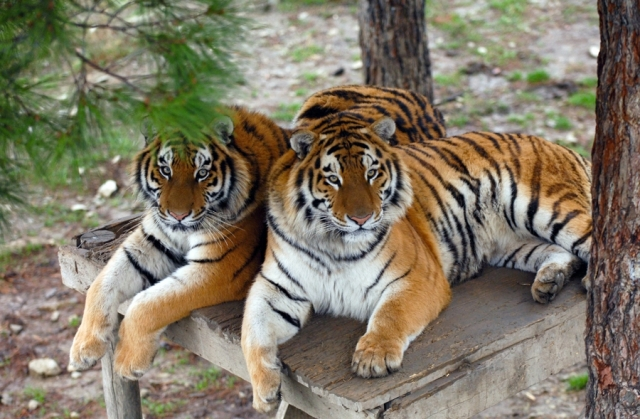 Тигрица с тигрятами 3