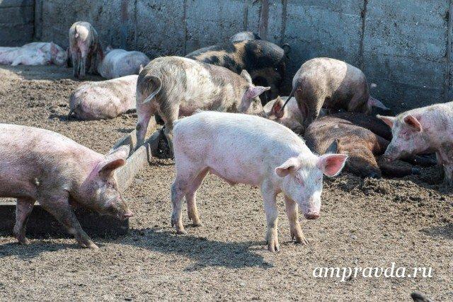 ВАмурской области появится свиноводческий комплекс