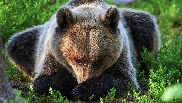 ПоБелогорску вторые сутки разгуливает двухметровый медведь