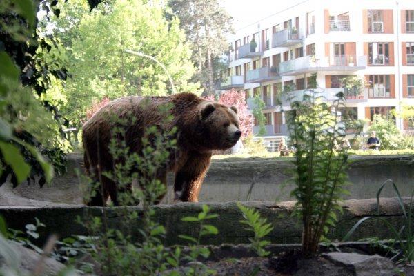 ВБелогорске ночью преследовали взрослого медведя: хищник непойман