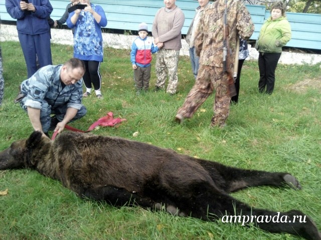 Медведя, который забрел натерриторию школы, убили вПриамурье
