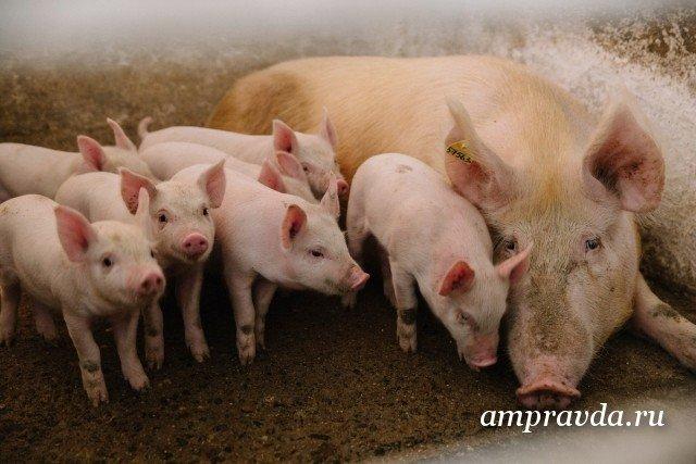 ВПриамурье построят свиноводческий комплекс на5 тыс. тонн мяса вгод