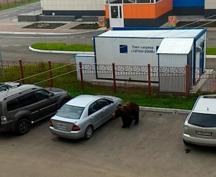 Граждане Камчатки сняли навидео зашедшего вгород медведя