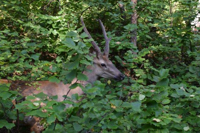 红鹿Egorka在Zeisky自然公园被释放/狩猎专家在布拉戈维申斯克州Zeysky自然保护中心将一只成年红鹿释放到露天笼中。一只名为Yegorka的东亚野鹿将加入一个已经住在公园里的小亲戚家庭。游客将能够在尽可能接近自然的条件下看到其原始动物。