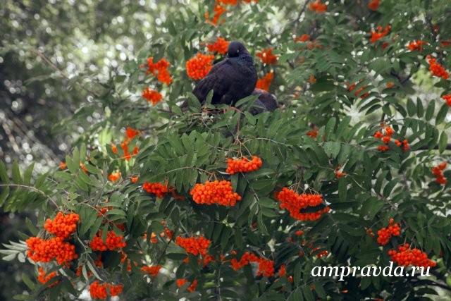 """山灰篝火:医生和植物学家谈论9月流行的树木的好处和美丽。再次,9月3日是山灰篝火燃烧的日子。这首由著名歌手演唱的歌曲非常流行,以至于人们将此日期称为""""日历的新的红色日子""""。 9月3日,俄罗斯各地的米哈伊尔·沙夫丁斯基(Mikhail Shafuttinsky)的众多崇拜者都在此种植了花plant胡同。 DalSAU副教授,生物科学候选人安娜·科兹洛娃(Anna Kozlova)说:""""这个主意很棒,因为山灰只不过是美化任何城市的理想文化。""""阿穆尔河的科学家和医生谈到了这种文化的价值,不仅对景观设计有好处,而且对我们的健康也有好处。"""