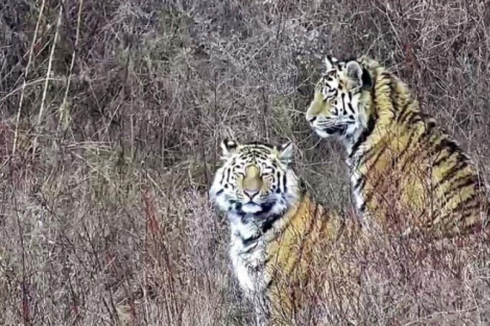 Дело Павлика: следователи доказали, что два жителя Амурской области намеренно застрелили тигра