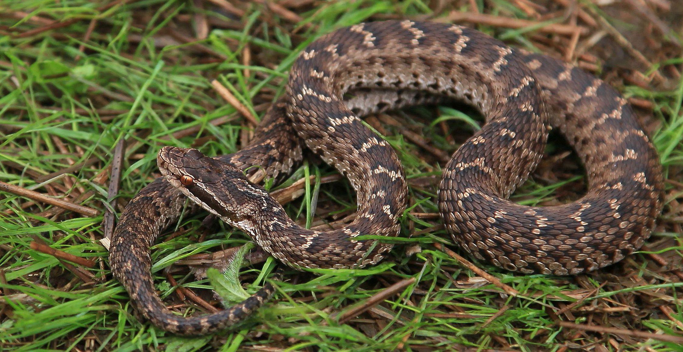 змеи амурской области фото и название любисток описание выращивания